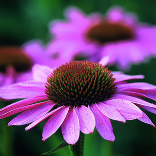 How to make Echinacea Tincture