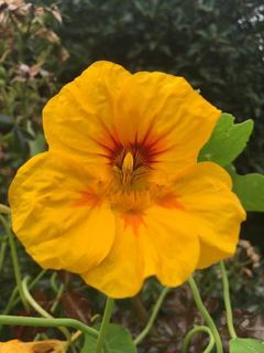 Nasturtiums - Powerfully Antibacterial!