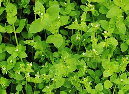 How to use the herb Chickweed